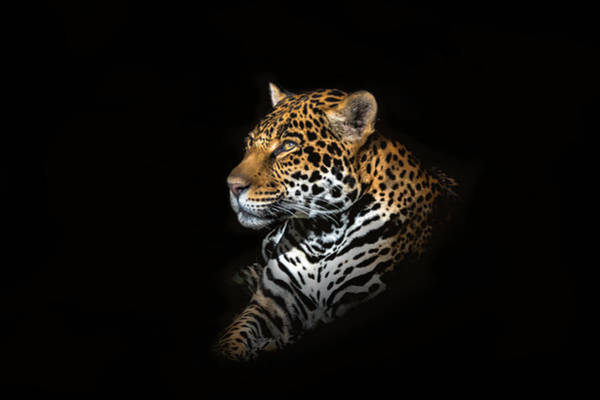 Wall Art - Photograph - Jaguar Portrait by Majestic Moments Photography,