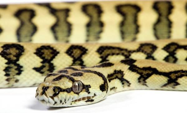 Ir Photograph - Jaguar Variant Carpet Python by Pascal Goetgheluck/science Photo Library