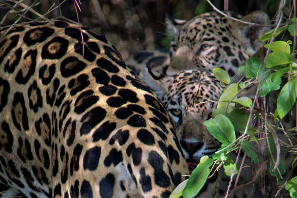 Wall Art - Photograph - Jaguars Panthera Onca, Pantanal by Animal Images