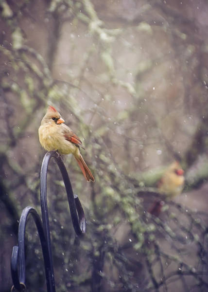 Photograph - January Cardinals by Heather Applegate
