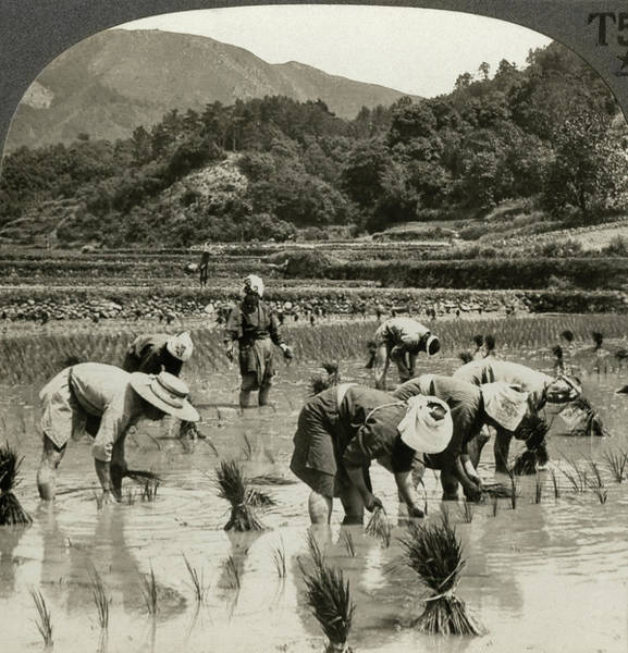 Photograph - Japan Agriculture, C1920 by Granger