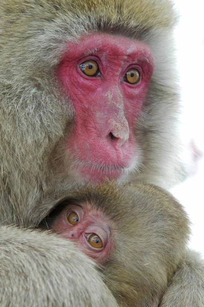 Comfort Photograph - Japan, Jigokudani Monkey Park by Jaynes Gallery