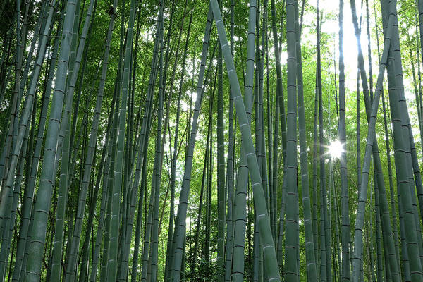 Bamboo Photograph - Japan, Kyoto Sunburst by Jaynes Gallery