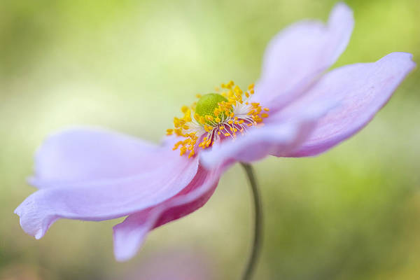 Wall Art - Photograph - Japanese Anemone by Mandy Disher