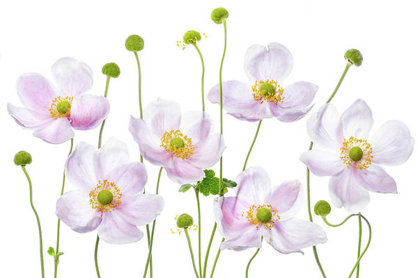 Japonica Photograph - Japanese Anemones by Mandy Disher