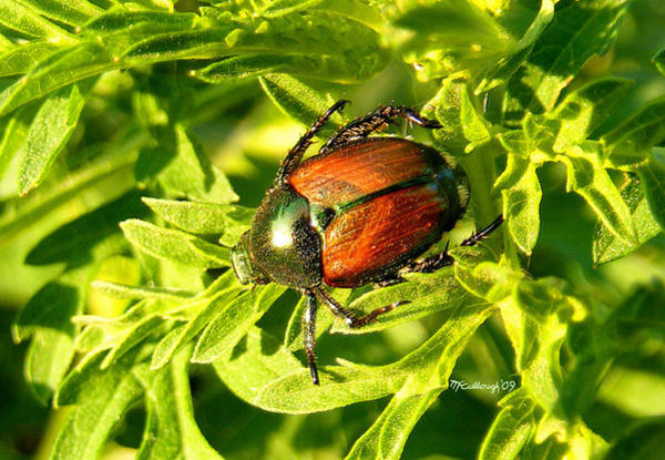 Photograph - Japanese Beetle by Duane McCullough