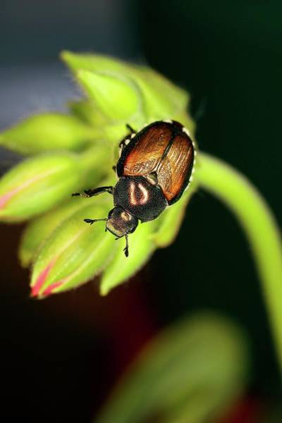 Japonica Photograph - Japanese Beetle by Stephen Ausmus/us Department Of Agriculture/science Photo Library