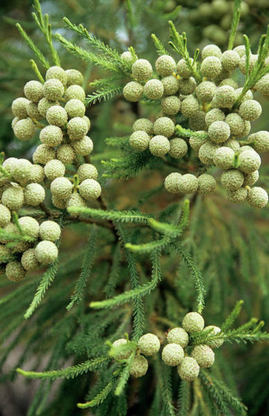 Japonica Photograph - Japanese Cedar Cones by Cristina Pedrazzini/science Photo Library