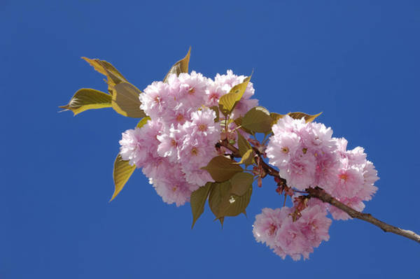 Photograph - Japanese Cherry Flowering by Matthias Hauser