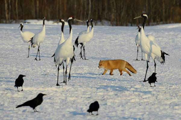 The Crane Photograph - Japanese Cranes And Red Fox In by Lucia Terui
