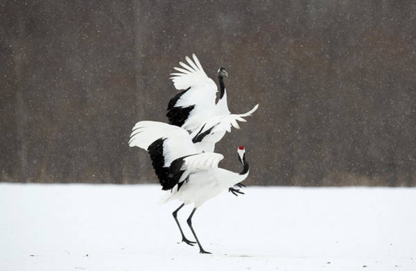 Courtship Photograph - Japanese Cranes Displaying by Dr P. Marazzi