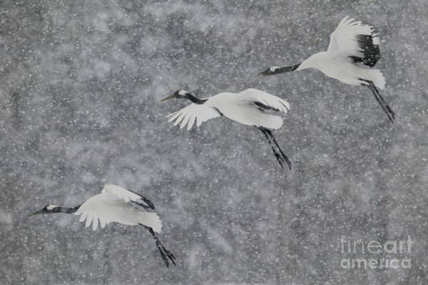 Photograph - Japanese Cranes In Flight by Jean-Louis Klein and Marie-Luce Hubert