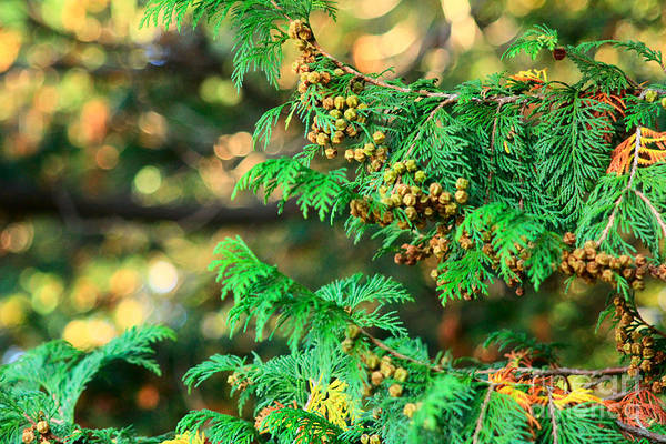 Photograph - Japanese Cypress In Fall Colors With Bokeh by Beverly Claire Kaiya