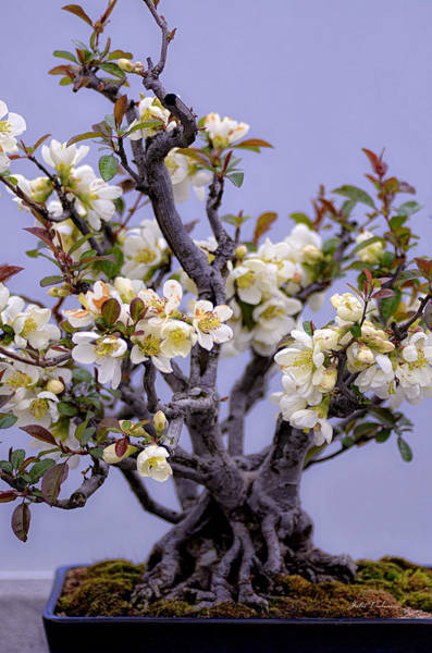Quince Photograph - Japanese Flowering Bonsai by Julie Palencia