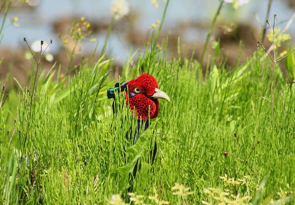 Pheasant Photograph - Japanese Green Pheasant by Damon Bay