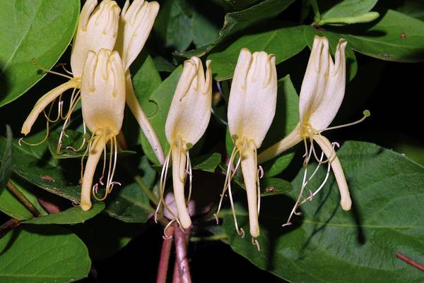 Japonica Photograph - Japanese Honeysuckle (lonicera Japonica) by Bruno Petriglia/science Photo Library