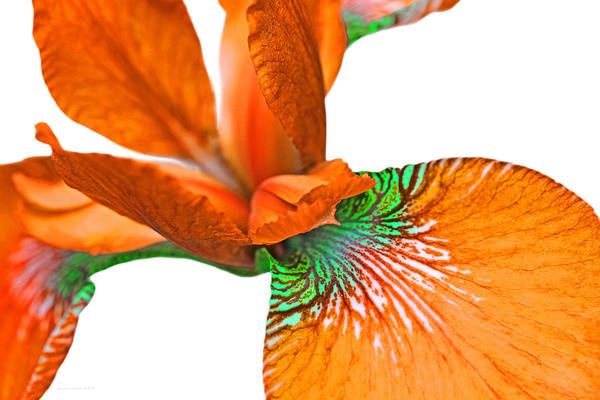 Chartreuse Photograph - Japanese Iris Orange White Five by Jennie Marie Schell