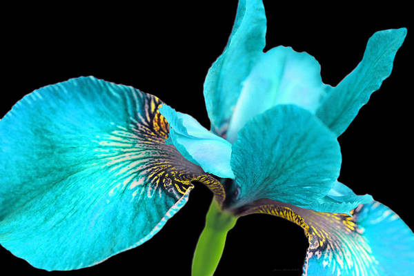 Wall Art - Photograph - Japanese Iris Turquoise Black Four by Jennie Marie Schell