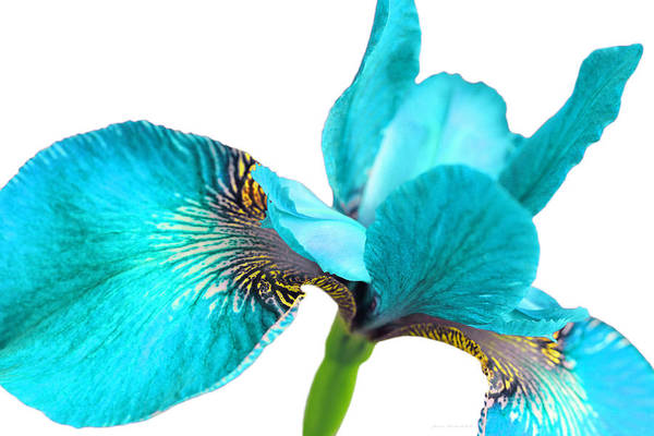 Wall Art - Photograph - Japanese Iris Turquoise White Four by Jennie Marie Schell