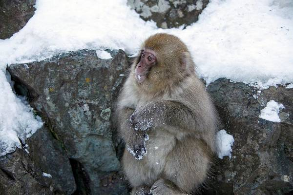 Adapted Photograph - Japanese Macaque by Andy Crump