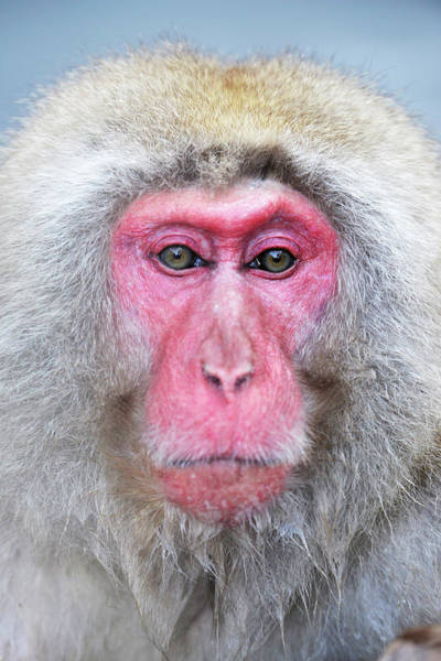 Snow Monkey Photograph - Japanese Macaque by Dr P. Marazzi