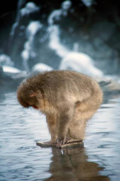 Snow Monkey Photograph - Japanese Macaque In A Hot Spring by Andy Crump