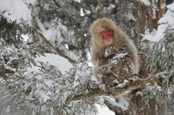 Snow Monkey Photograph - Japanese Macaque Mother And Baby by Thomas Marent