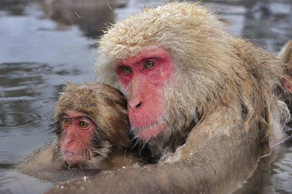 Snow Monkey Photograph - Japanese Macaque Mother And Young by Thomas Marent