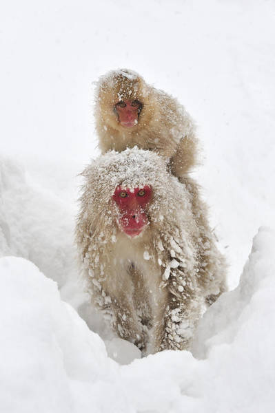 Snow Monkey Photograph - Japanese Macaque Mother Carrying Baby by Thomas Marent