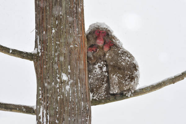 Snow Monkey Photograph - Japanese Macaque Mother With Young by Thomas Marent
