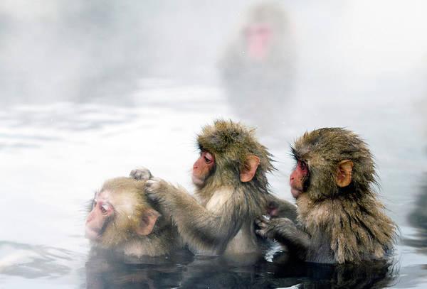 Snow Monkey Photograph - Japanese Macaque Snow Monkeys Bathing by Tony Burns