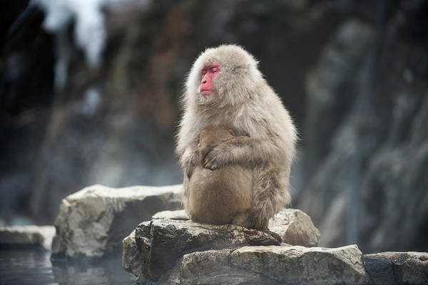 Japanese Macaque With Young Art Print by Dr P. Marazzi