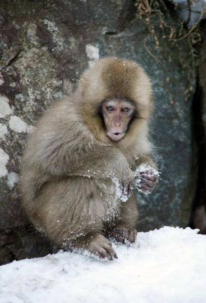Adapted Photograph - Japanese Macaque Young by Andy Crump