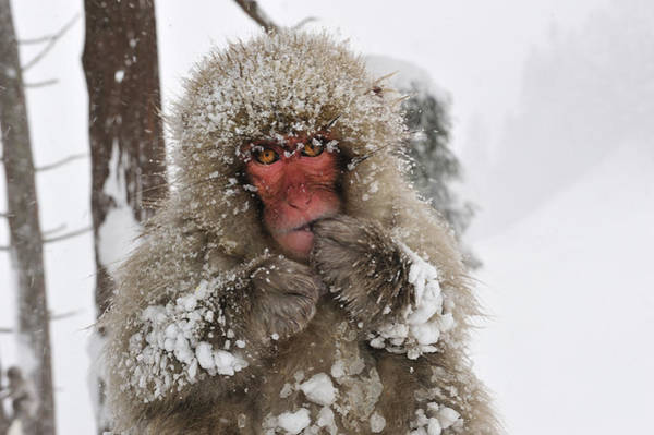 Snow Monkey Photograph - Japanese Macaque Young Jigokudani by Thomas Marent