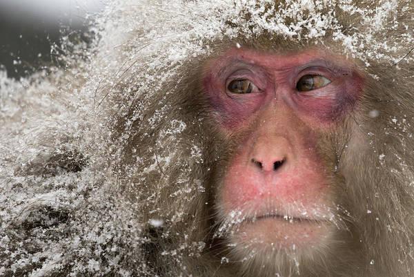 Snow Monkey Photograph - Japanese Macaques At Jigokudani by Tomohiro Ohsumi