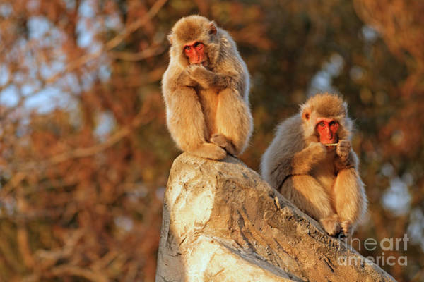 Japanese Macaques In The Tokyo Zoo by Natural Focal Point Photography