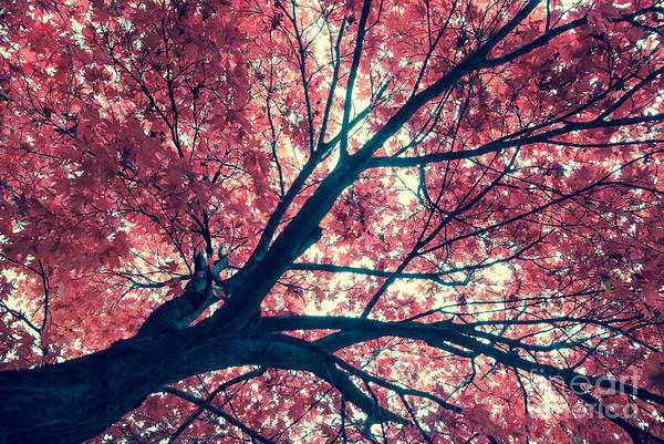 Photograph - Japanese Maple - Vintage by Hannes Cmarits