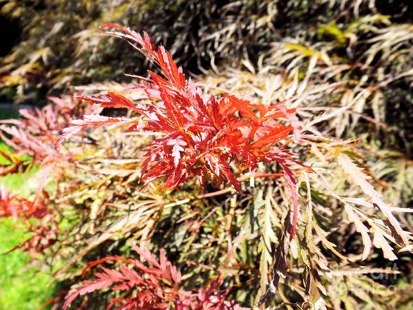 Photograph - Japanese Maple #2 by Robyn King