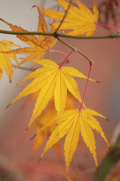 January Photograph - Japanese Maple (acer Palmatum) Leaves In Autumn Colouration by Maria Mosolova/science Photo Library