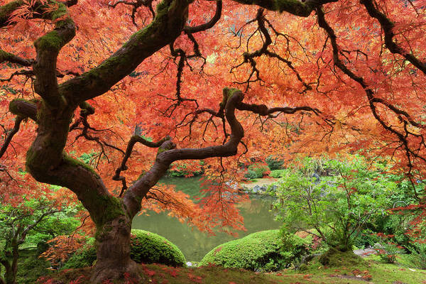 Change Photograph - Japanese Maple (acer Palmatum by William Sutton