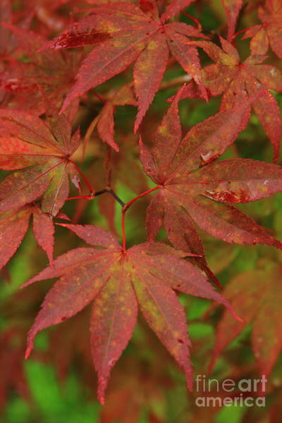 Photograph - Japanese Maple After The Rain  by Reid Callaway