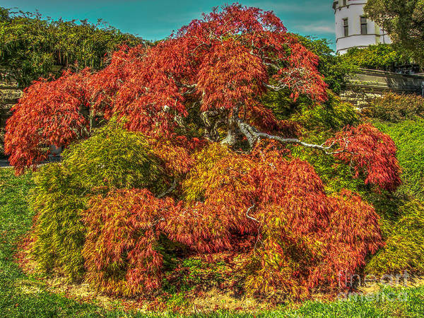 Photograph - Japanese Maple by Dale Powell