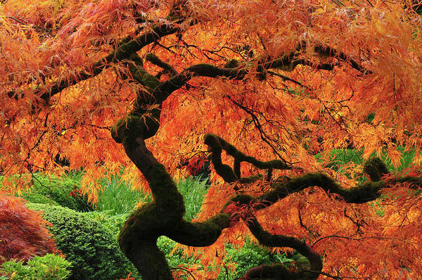 Canopy Photograph - Japanese Maple In Full Fall Color by Michel Hersen
