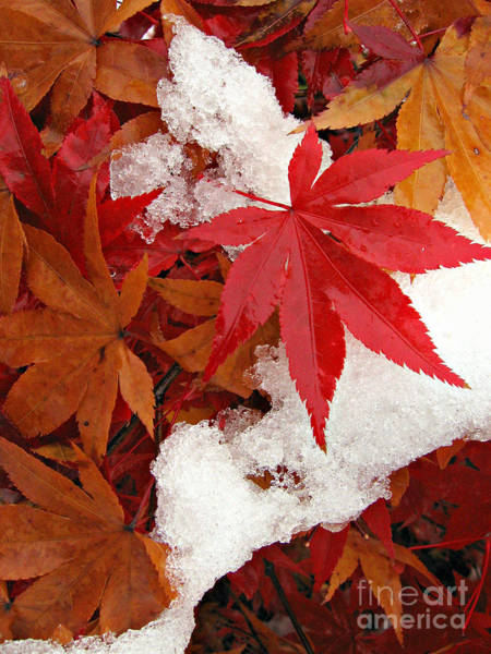 Wall Art - Photograph - Japanese Maple Leaves In Snow by Anna Lisa Yoder