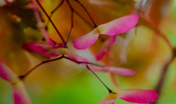 Photograph - Japanese Maple Seedling by Brenda Jacobs