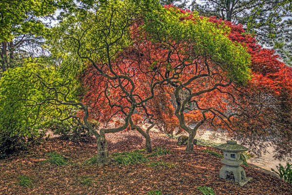Photograph - Japanese Maple Tree by Jerry Gammon
