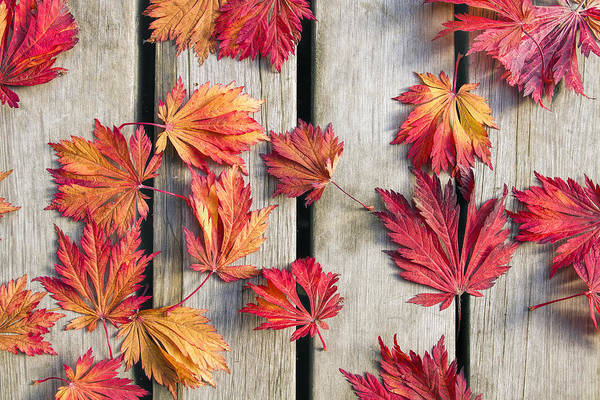 Orange Wood Photograph - Japanese Maple Tree Leaves On Wood Deck by David Gn