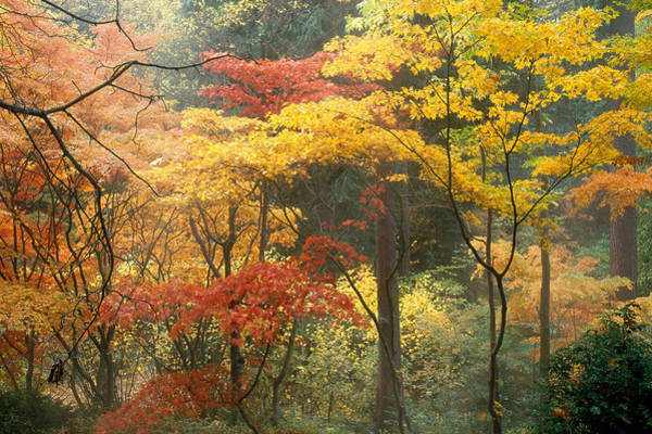 Wall Art - Photograph - Japanese Maples In Fall Color by F. Stuart Westmorland