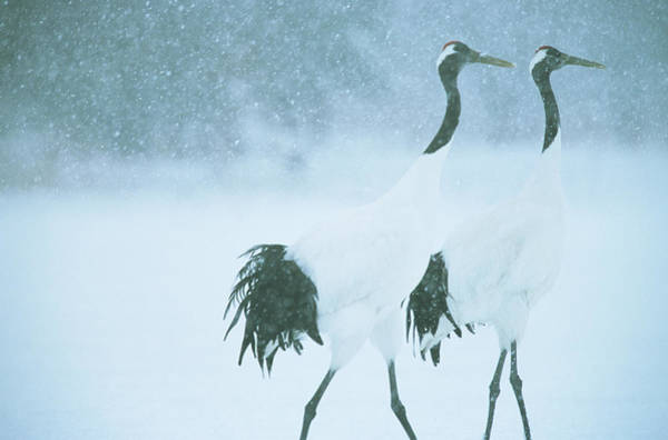 Wall Art - Photograph - Japanese Or Red-crowned Cranes by Tim Laman