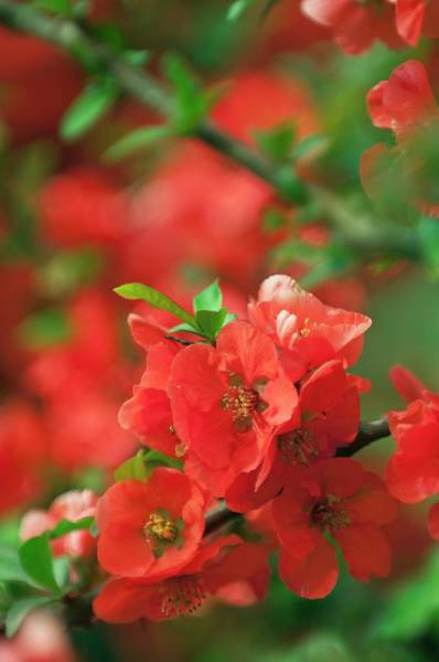 Quinces Photograph - Japanese Quince (chaenomeles Japonica) by Maria Mosolova